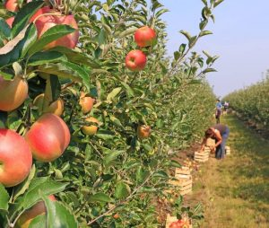 apple orchard with pickers
