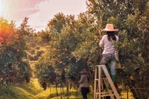 fruit picking in South Australia