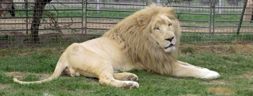 White Lion, Mansfield Zoo