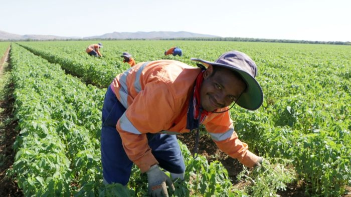 migrants engaged in picking in orchards