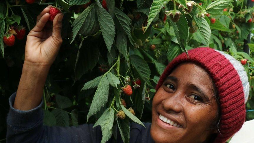 Tasmanian berry picking